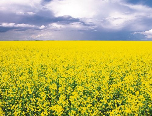 Canola Bookings and Early Buy Incentives